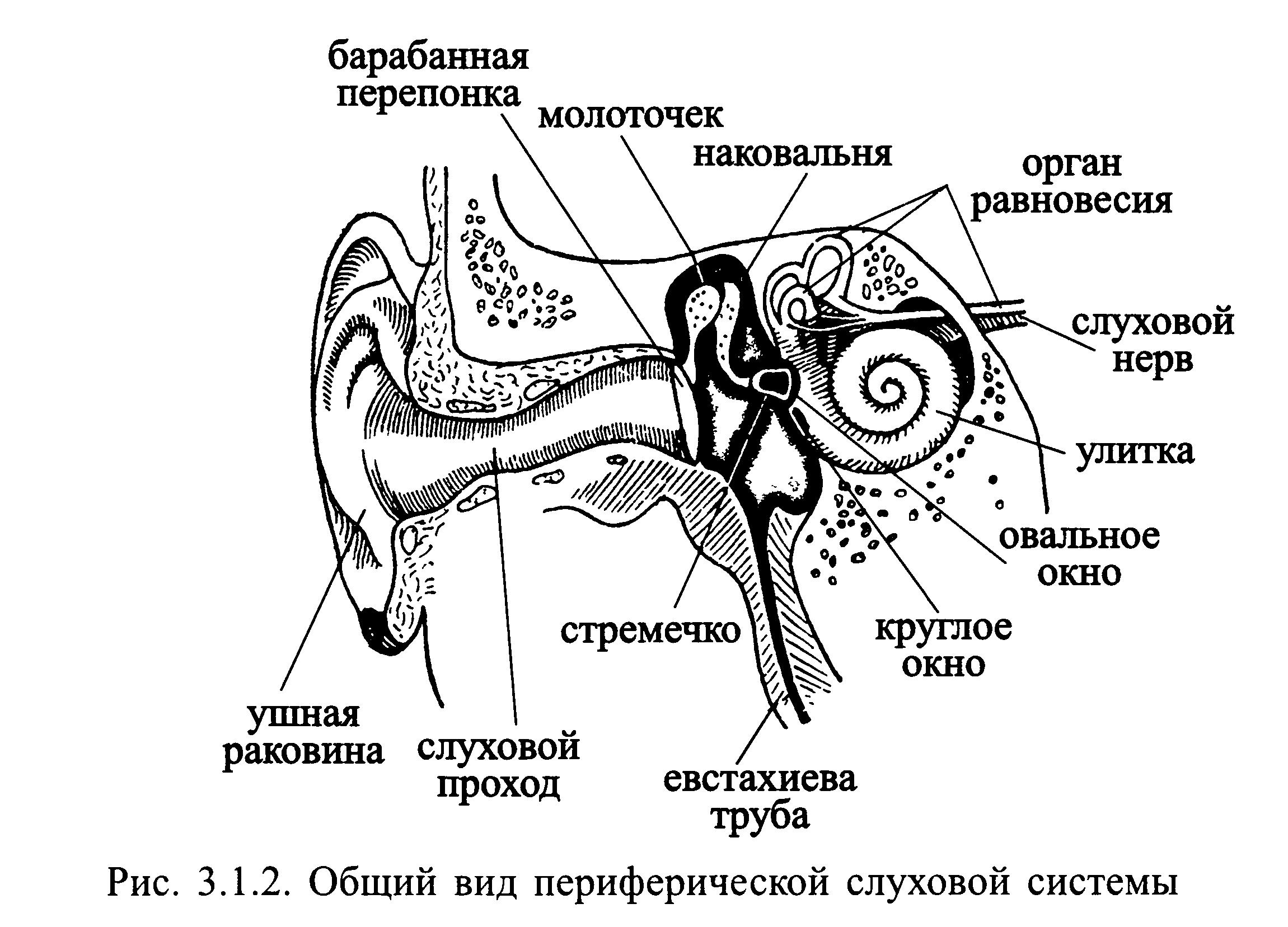 Устройство уха в картинках