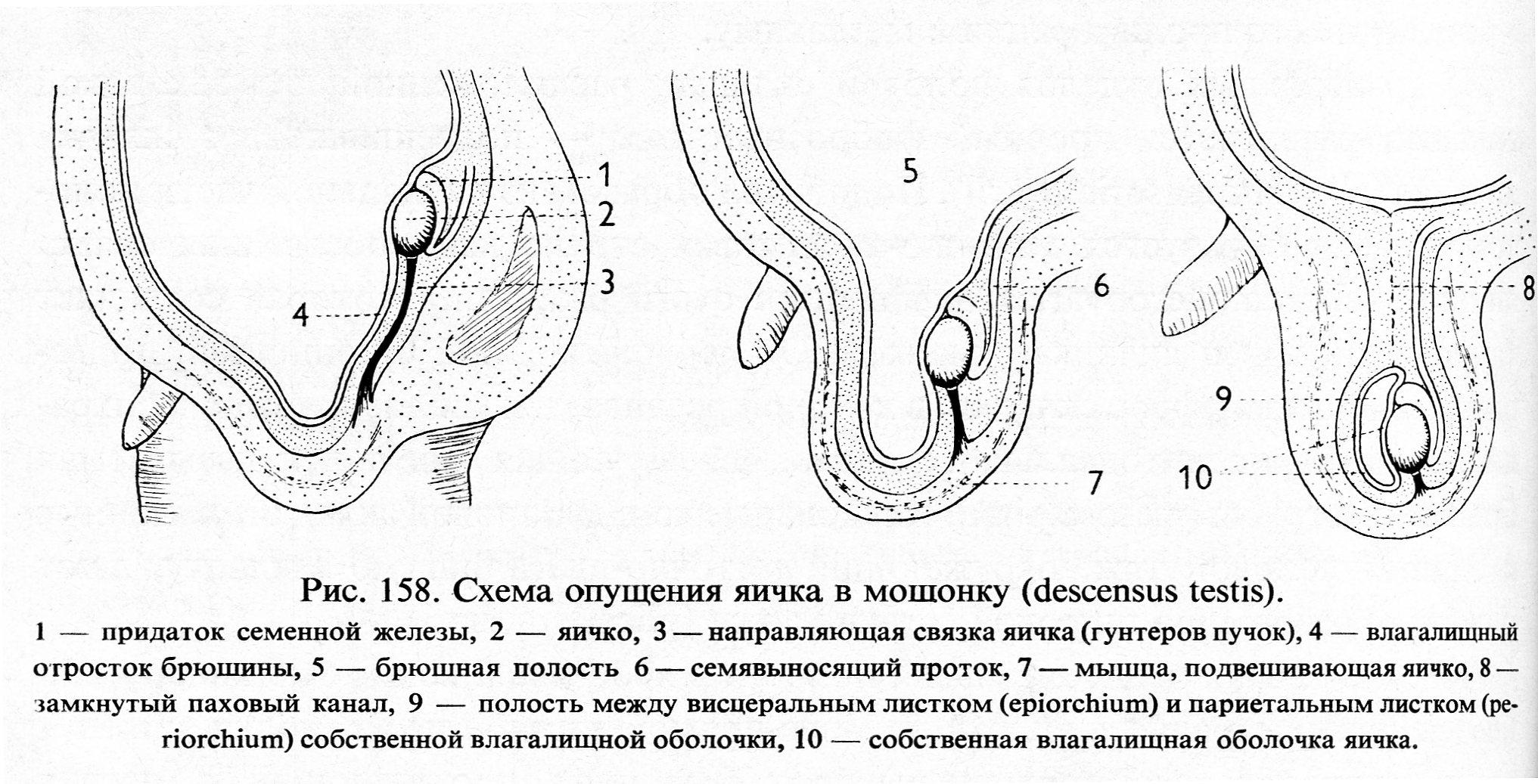 Женские аномалии влагалище член