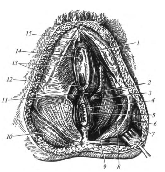 Половые органы женские крупно