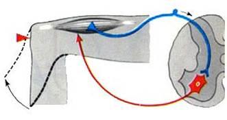 Рефлекторная функция спинного мозга осуществляется благодаря наличию