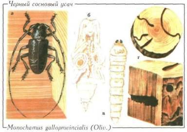 Черный сосновый усач – Monochamus galloprovincialis