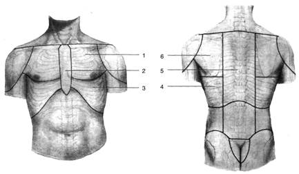 Топографические линии грудной клетки