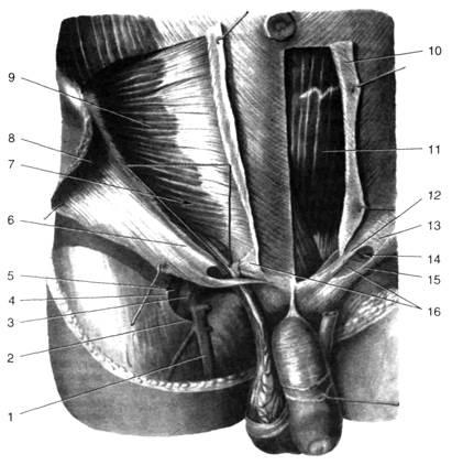 Строение мужского тела область паха