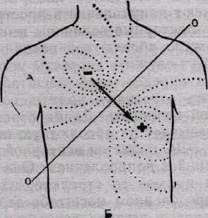 Строение и функции проводящей системы сердца
