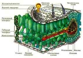 Структурная организация фотосинтетического аппарата, строение листа как органа фотосинтеза, ультраструктура и онтогенез хлоропластов