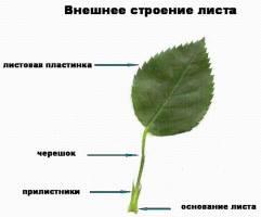 Листорасположение (расположение листьев на стебле)