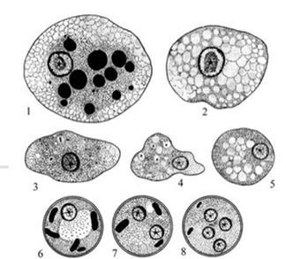 Амеба дизентерийная под микроскопом