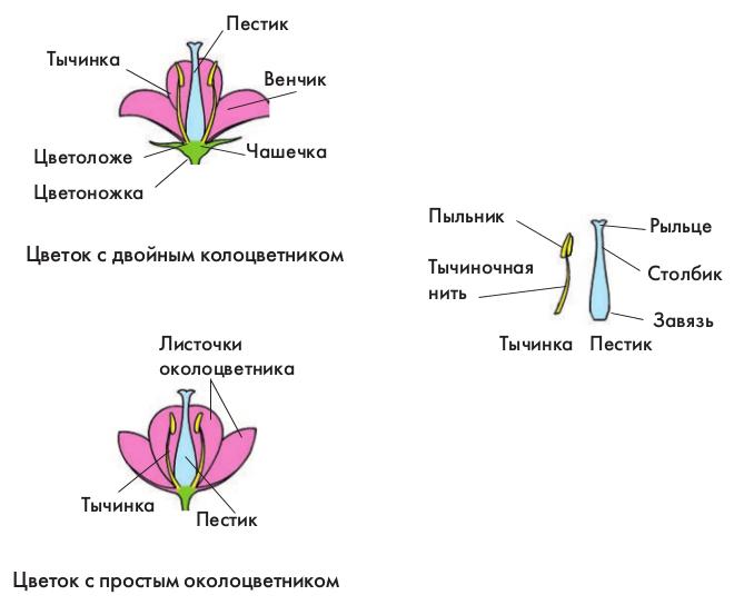 В цветке образуются спермии и