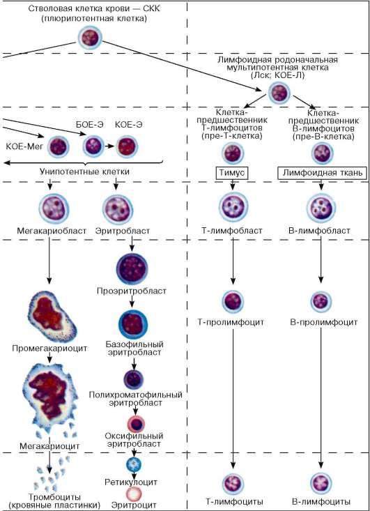 что означают в крови недифференцированные клетки можете недорого
