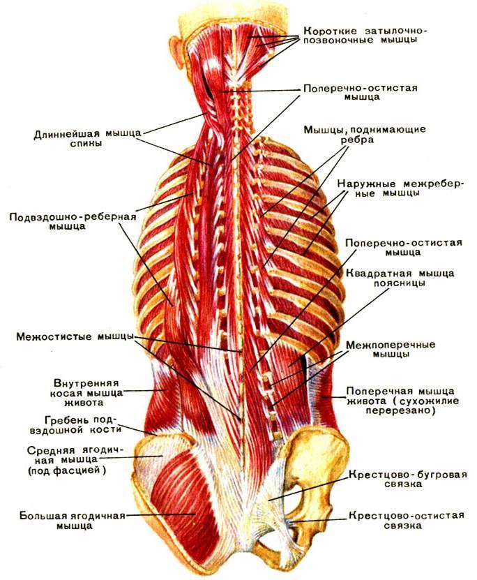 Anatomy human back