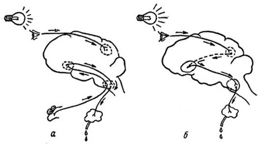 Безусловный слюноотделительный рефлекс схема4