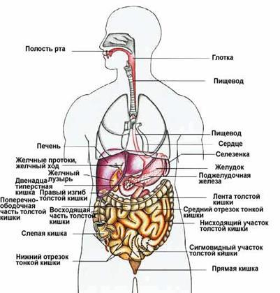 Что где находится у человека в организме