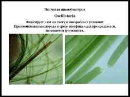 Фотосинтез и азотфиксация