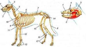 Скелет млекопитающих