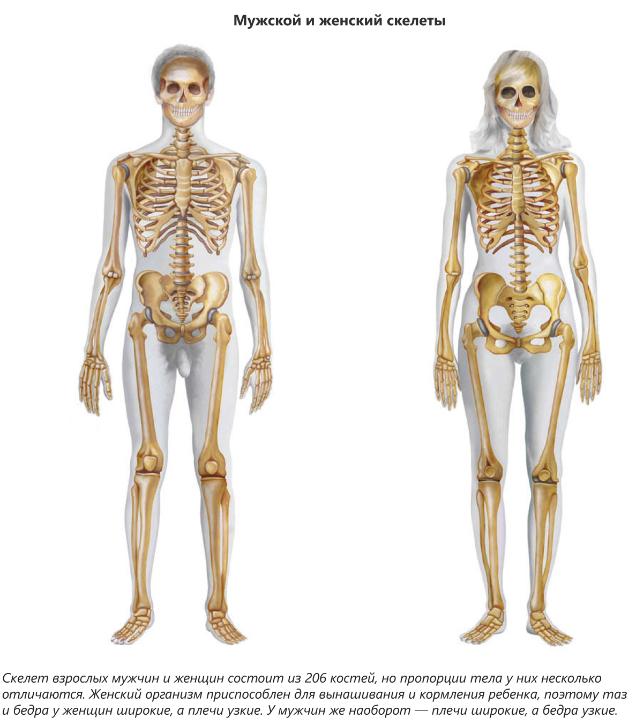 дома кости мужская и женская чем отличаются большинстве случаев